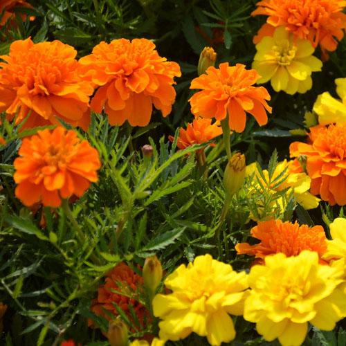 孔雀草 复瓣桔色、黄色  花坛盆栽易种植观赏花卉