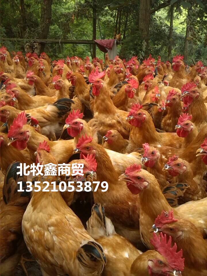 鸡嘴卡环、防啄癖鸡嘴卡环厂家现货供应