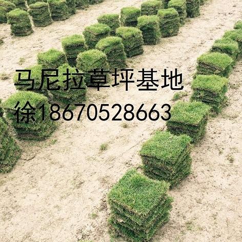 贵州马尼拉草皮批发-马尼拉草皮图片-草皮规格