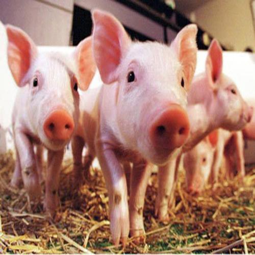供应 农家自养 生猪