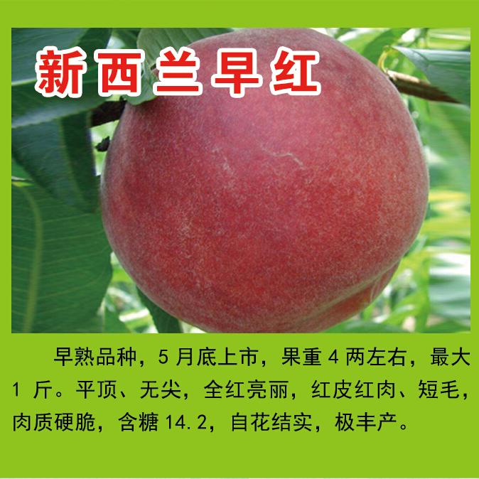 王氏明丰蜜桃园供应新西兰早红等多个品种   糖度高 品质优  耐储存