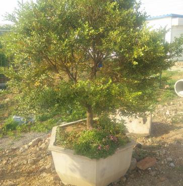 供应 庭院观赏黄杨树盆景