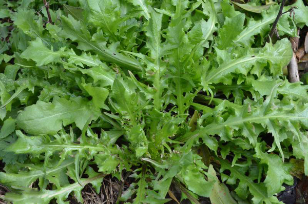 优质野菜种子济南批发 大叶荠菜种子芽率规格