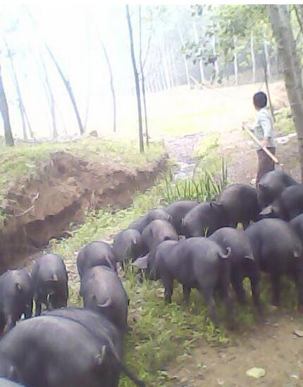 供应 厂家直销黑种猪