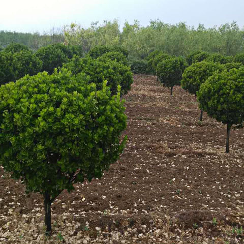 高杆北海道球 基地直销 规格齐全 易栽种