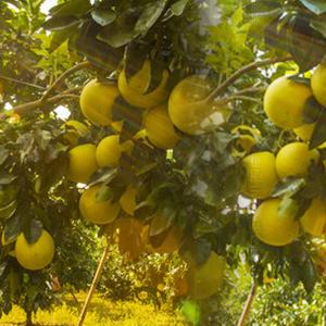 供应 一级品种端正蜜柚