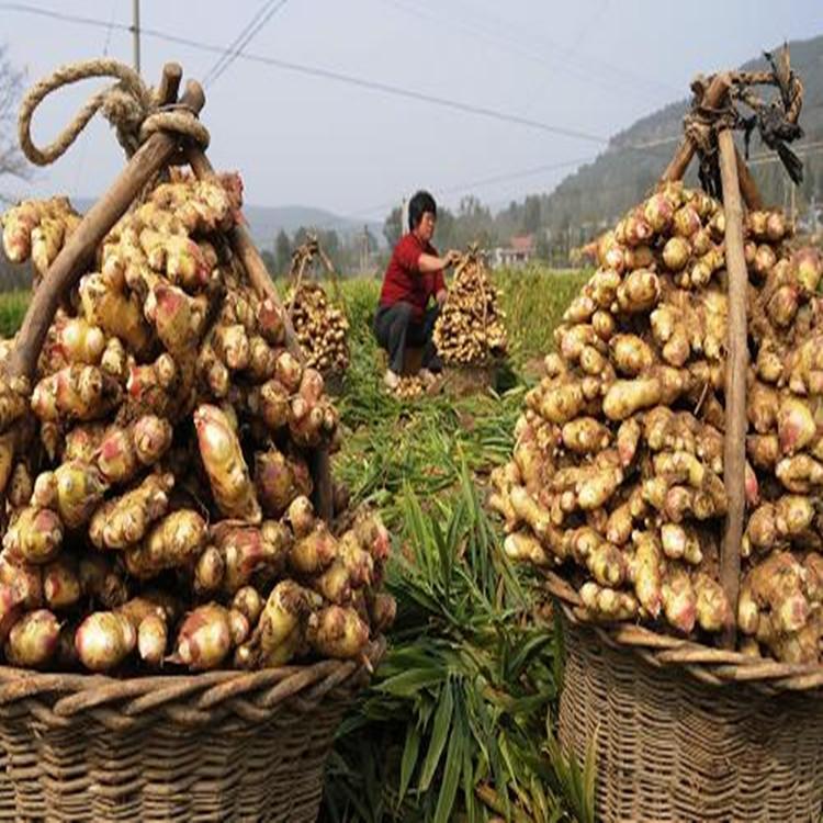 山东牛尾作用市场行情大姜功效生姜蕨的价格与产地图片