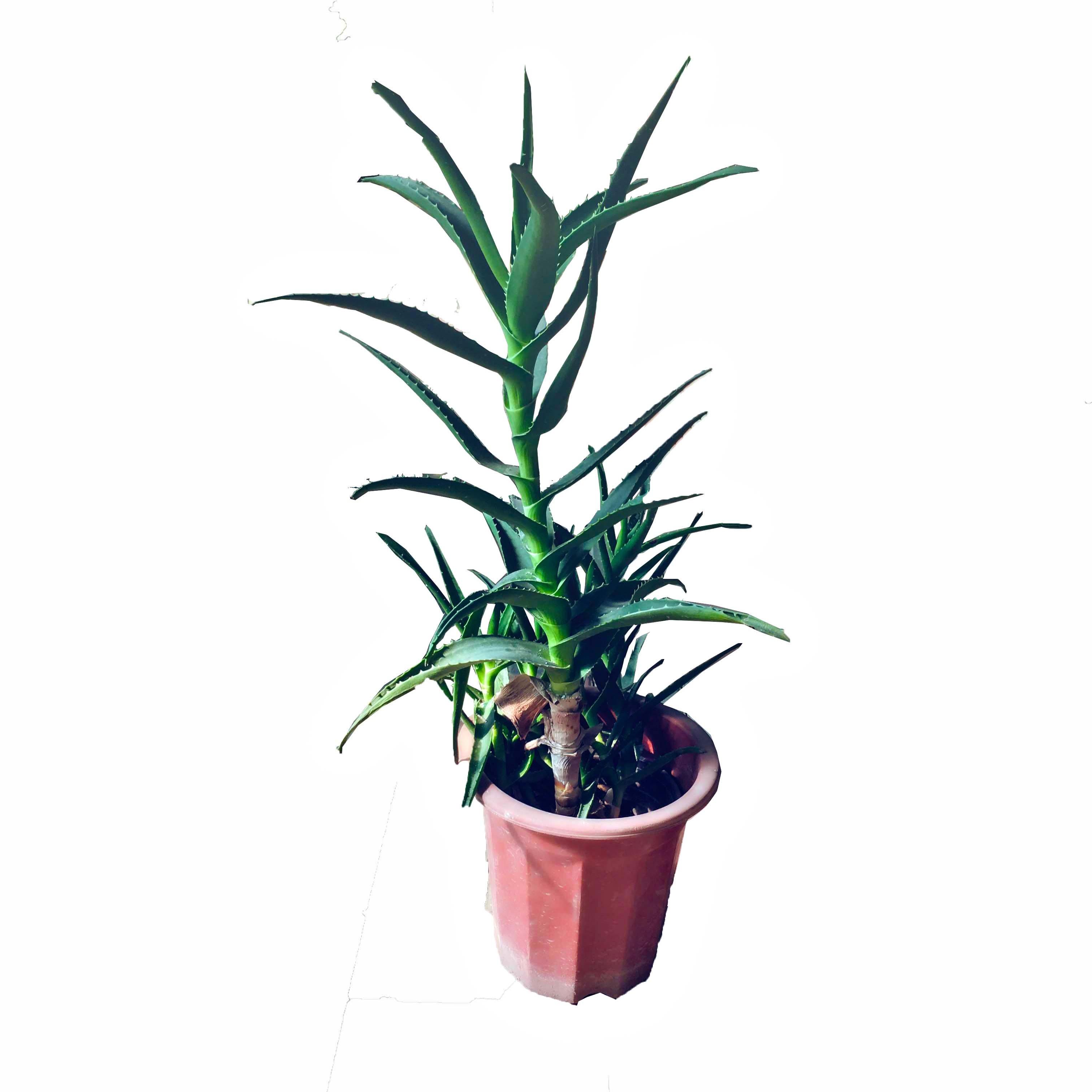 蓝达 芦荟盆栽植物美容蓝达芦荟室内花卉盆栽净化空气芦荟植物