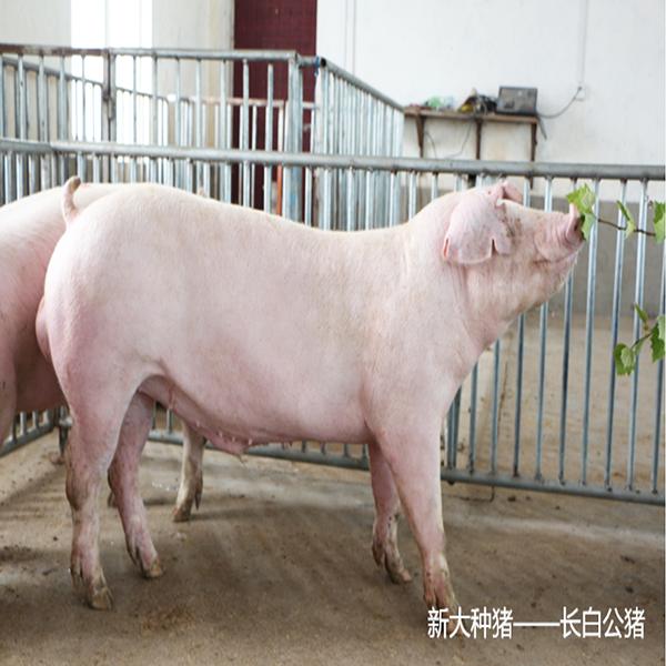 新大牧业 新美系长白种猪 公猪