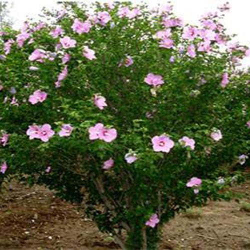 芳华园林供应3-6cm木槿树  树形好  价格优