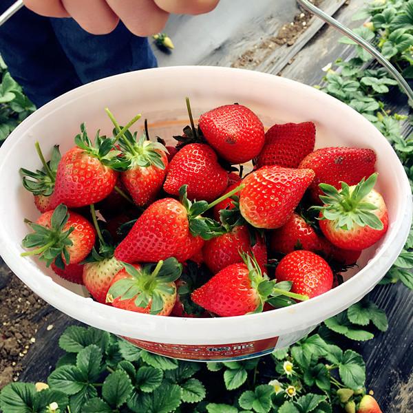 艳丽 京桃香 草莓沈阳供应